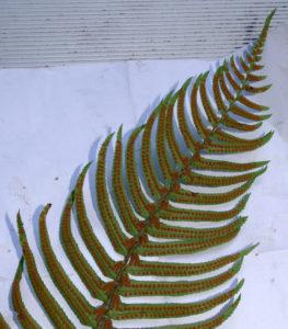 Fall Is Fern Reproduction Time Kruckeberg Botanic Garden